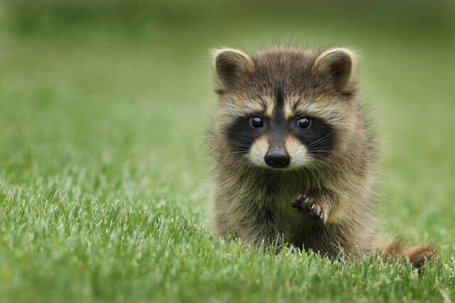 Child raccoon